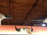 Taxidermy Buffalo Skulls on Custom Stands Pictured