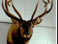 Taxidermy Mounts for Sale: 6x7 Bull Elk Head: $1,000