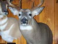 I will mount your W.T.Deer shoulder mount for you at