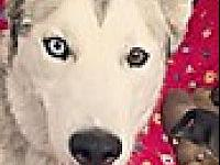 My story Taya is a female husky who LOVES to be with