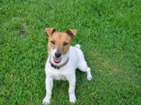 registered jack russell puppies for sale a beautiful