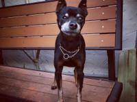 Taz is a sweet 11 year old 6 pound MinPin looking for