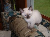 TCA Registered Siamese kittens. READY NOW!! July 15th