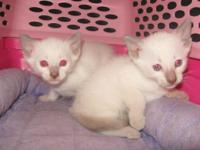 These two Lilac male Siamese kittycats were born on May