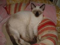 TCA Registered Siamese Kittens. READY NOW! Raised in my