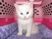 This white solid Khao Manee male kitten was born June