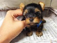 Teeny tiny yorkie male Teddy bear face puppy Nice