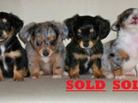 Externally tiny chiweenie puppies, 4 brothers with all