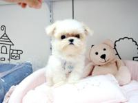 1 tcup male maltese available now. first shot and