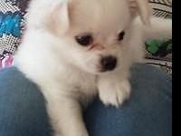 Teacup Maltese, very cute male puppy, available in 1