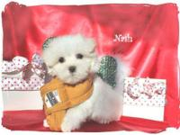 Two male, one female Maltese pups, snow white, very