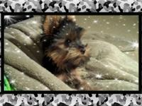 5 Month old male tcup yorkie. He is such a Beautiful &
