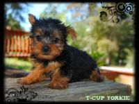 TCUP Yorkies $675.00 (Debit/Credit Accepted) Pups will
