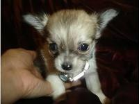 Lovely Maltchi [Maltese x chihuahua] Puppies readily