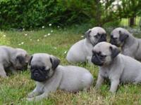 Tea cuo Pug puppies ready coming with all playing toys