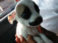 Super cute and playful teacup applehead Chihuahua no