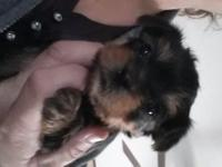 I have two beautiful male yorkie puppies with cute