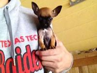 I have a 9 week old female tea cup Chihuahua. She is