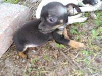Tootsie is a Teacup Chihuahua Female, about to be 8 wks