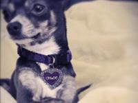 Chloe is a 3.5 lbs, 11/2 year old tea cup chihuahua,