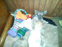 I have 2 male n 1 female tea cup Chihuahua puppies