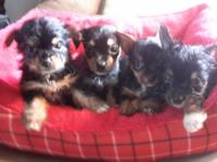 I have four Tea Cup Chorkiee Puppies available, there