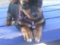 Tea Cup female Chihuahua puppy for sale $1600. Shots