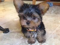 I have a beautiful female tea cup Yorkie available. She