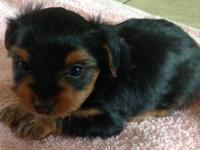 We have a trash of tea cup yorkies (2 males), born June