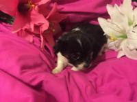 Teacup Maltipoo puppies 2 tiny females in this litter