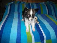I have 1 teacup Papi-Pom Female young puppy left. She
