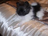 Registered Tea-Cup Pomeranian Pup , One Black and White