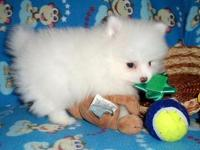 Tea-Cup Pomeranian Pups AVAILBLE TEXT 916  -