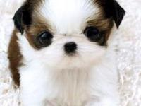 tea-cup shih tzu  puppies available now.text us at