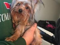 Yorkshire terrier male 9 months old weight around 2 lbs