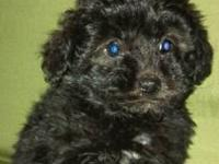 We have only one Tea cup Yorkie Poo puppy left ,which