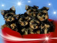 healthy Teacup Yorkie big dark eyes, cobby little