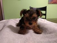 We have an 8 week old very tiny male tea cup yorkie, he