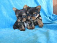 Tea Cup Yorkie Puppies. Females and males 8 weeks old