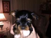 Tea Cup Yorkshire Terrier Puppies. 8 weeks old. Male