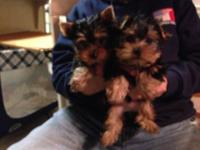Two gorgeous Tea Cup Yorkshire Terriers for sale! These