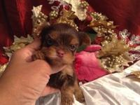 Very tiny Yorkie male Akc registered Perfect purse