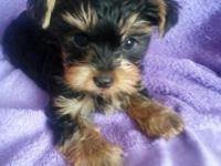 Hello. We have adorable teacup Yorkie boy, he will be