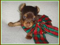 Handsome Teacup Male Chocolate Yorkie! Pictured here at
