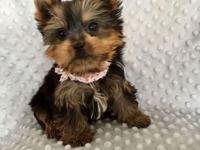 Name: Mason Breed:Yorkshire Terrier Gender:Male