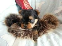 Hello everyone. I have cutest yorkie puppy born on