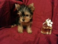 Hello. I have very cute teacup AKC female yorkie puppy.