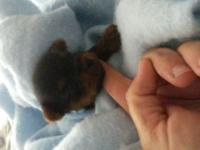 Gorgeous little yorkie girl she will certainly be all