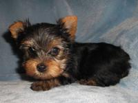 ACA registered Small Yorkie puppies. Vaccinated,