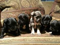 1 Teacup female Black 5.12 lbs approx. maturity $800 1